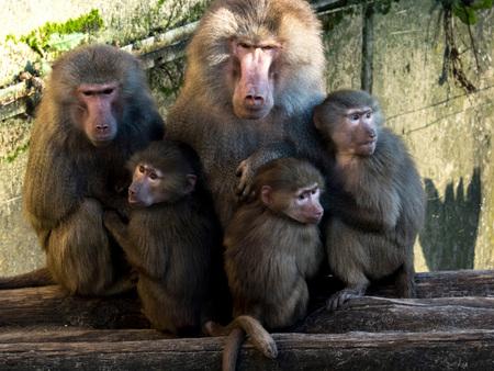 Samen - Familie bij elkaar , foto genomen op 17-01-2015 bij dierenpark Amersfoort - foto door BertTimmers op 19-01-2015 - deze foto bevat: dierentuin, aap, zoo, amersfoort
