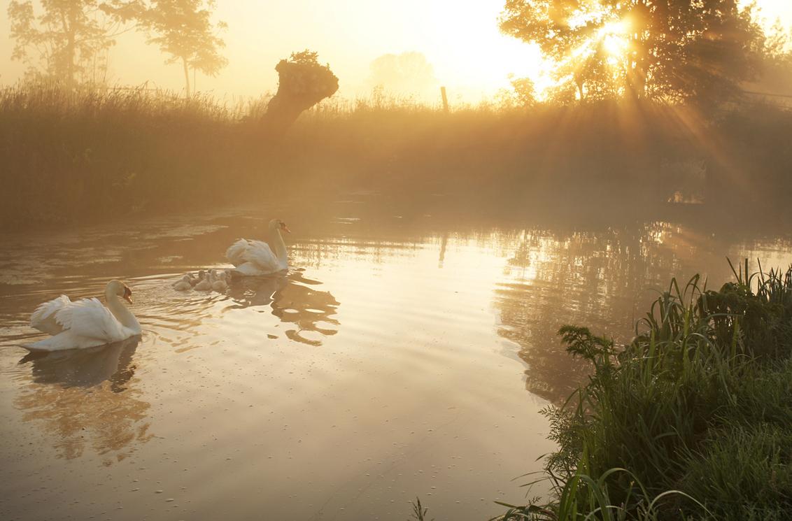 Op 'n mooie pinksterdag - Een zwanengezinnetje op 1ste pinksterdag. groeten, Bert - foto door b.neeleman op 24-05-2015 - deze foto bevat: spiegeling, mist, zonsopkomst, zwanen, zonnestralen