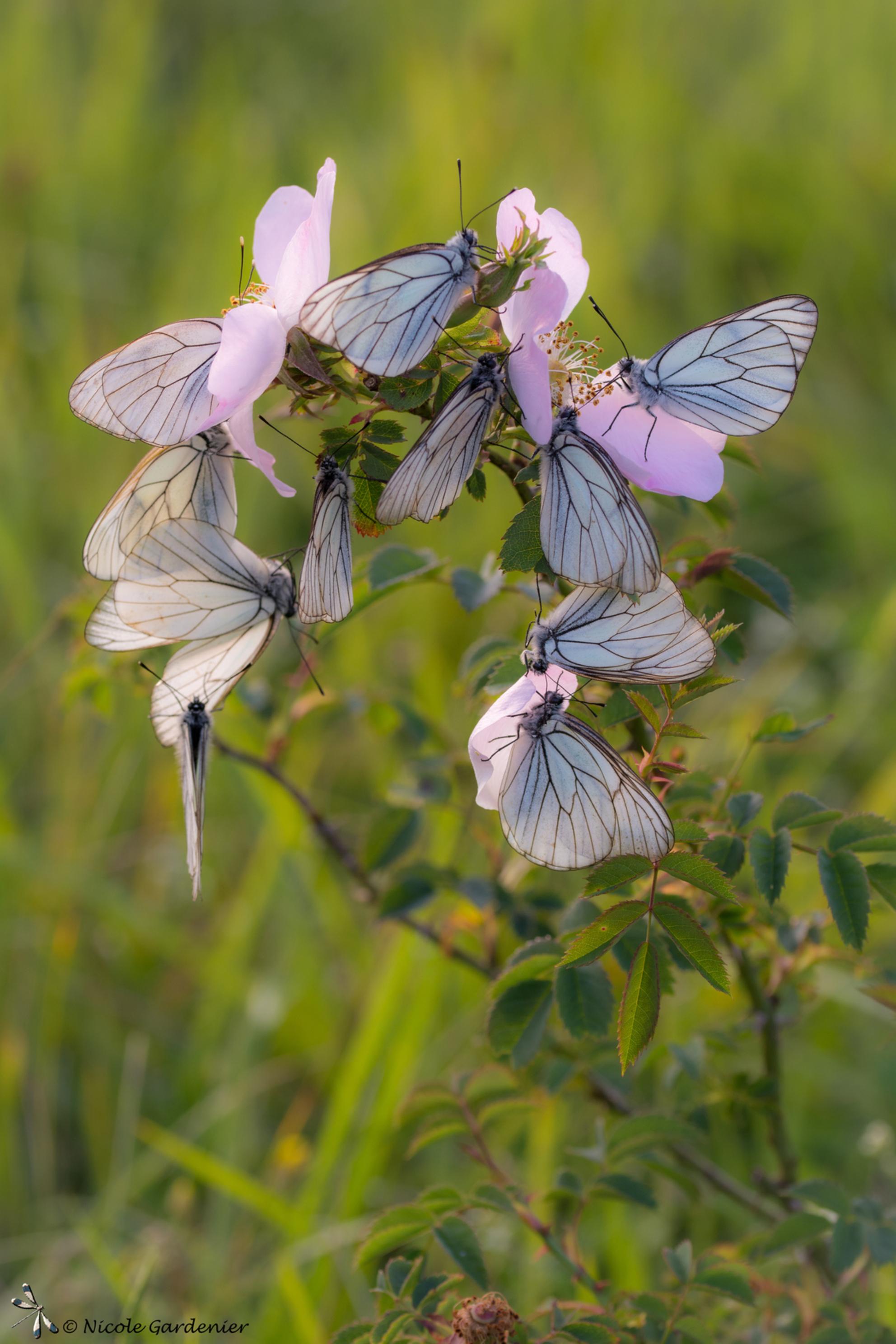 Vlinder hotel - Zeer druk bezette slaapplek. - foto door nicolegardenier17 op 01-07-2019 - deze foto bevat: vlinder, zomer, Groot Geaderd witje