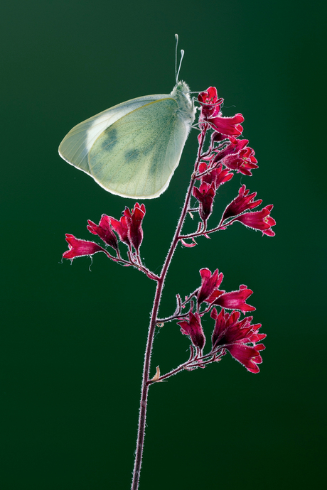 Groort Koolwitje, Pieris brassicae