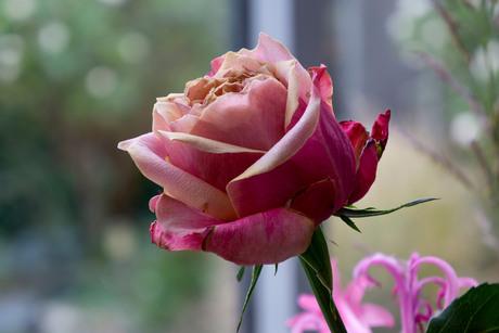 roos eind van bloei