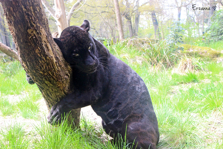 Zwarte panter - Zwarte panter in dierentuin Emmen die zich heel goed liet fotograferen. - foto door Erzanna op 10-06-2015 - deze foto bevat: dierentuin, panter, kat, wildlife, panther