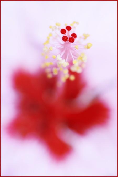 HIBISCUS - De zomer is in de tuin nog niet voorbij. Deze hibiscus staat nog bij de buren in de tuin en zag er nog fris uit, dus..... - foto door lucievanmeteren op 27-09-2015 - deze foto bevat: roze, rood, macro, bloem, natuur, herfst, tuin