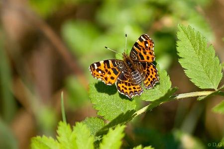 Early Orange - 24 april 2011  't Landkaartje (1e generatie) De eerste die ik dit jaar heb gezien.  Deze vlinder heeft iets bijzonders voor mij, prachtige teken - foto door daniel44 op 12-05-2011 - deze foto bevat: zon, vlinder, landkaartje, oranje, dieren, zomer, insect