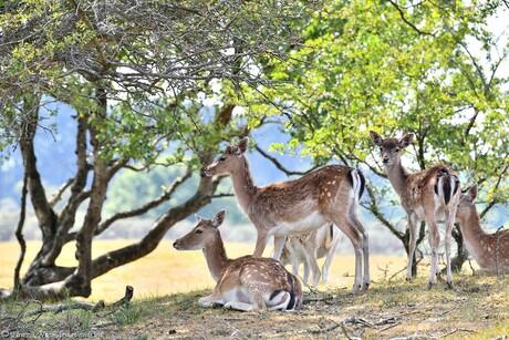 Graceful Deer