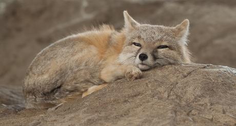 slapend vosje