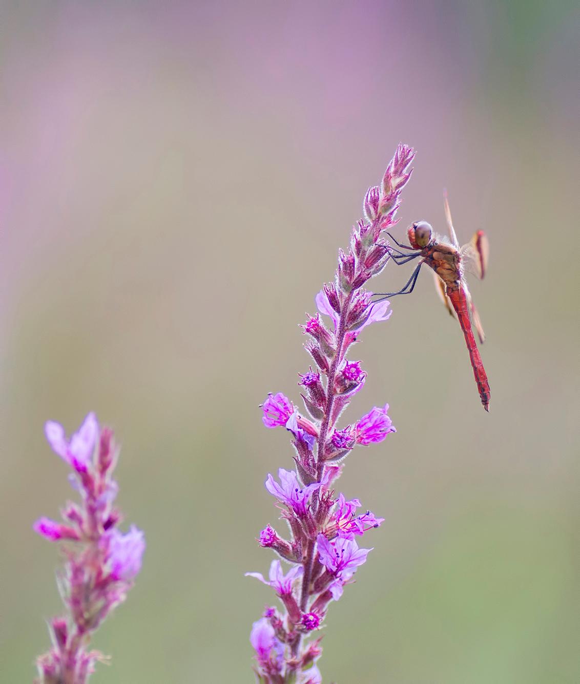 In a pink world - Nog een foto van de fraaie Bandheidelibel. - foto door birgitte61 op 24-08-2019 - deze foto bevat: roze, macro, zon, bloem, natuur, licht, libel, zomer, insect, dof, bandheidelibel, bokeh