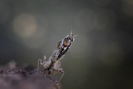Parablepharis Kuhli - Mijn nieuwe aanwinst, ontzettend mooi diertje. Echt heel erg gaaf om te zien hoe zich beweegt als een wiebelend blaadje en zo zijn voedsel razendsnel - foto door Hester-Goeman op 04-03-2020 - deze foto bevat: macro, licht, sprinkhaan, insect, dof, bidsprinkhaan, bokeh