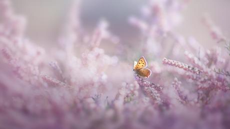 Vlindertje tussen de hei