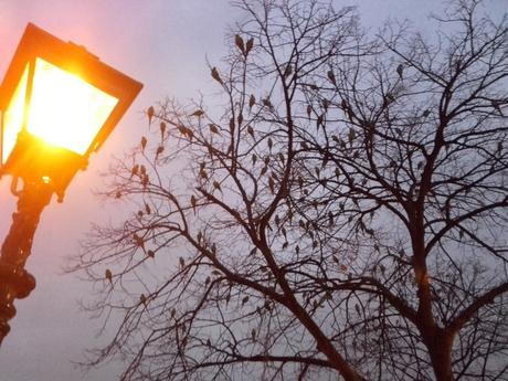 Papegaaien in Den Haag