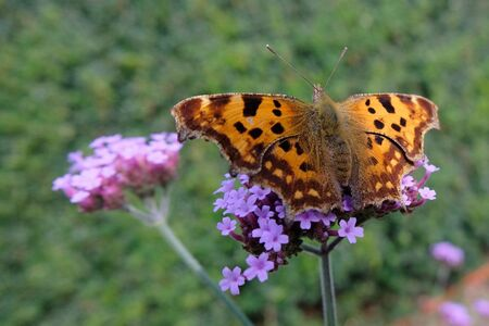 Gehakkelde Aurelia - Genomen in de Luie Tuinman te Ruinen...  Allen bedankt voor de reactie.....ssssssssss   gr jenny... - foto door jenny42 op 06-09-2017 - deze foto bevat: bloem, natuur, vlinder, bruin, dieren, lila, ruinen, gehakkelde aurelia, groen., luie tuinman