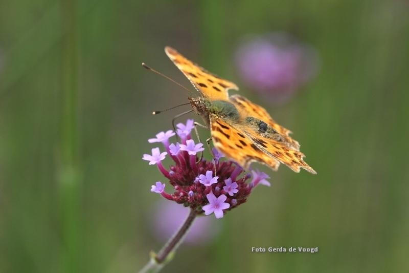 Gehakkelde aurelia - Met macrofotografie zie je hoe mooi de natuur in elkaar zit. Bij mijn foto van de gehakkelde aurelia heb ik mijn compositie zo rustig mogelijk gehoud - foto door GJ2707 op 12-04-2021 - locatie: Schoolstraat 29b, 9285 NE Buitenpost, Nederland - deze foto bevat: vlinder, butterfly,, gehakkelde aurelia, macrofotografie, vlindertuin, natuurfotografie, oranje, bloem, fabriek, bestuiver, vlinder, insect, geleedpotigen, motten en vlinders, vleugel, ochlodes, bloeiende plant