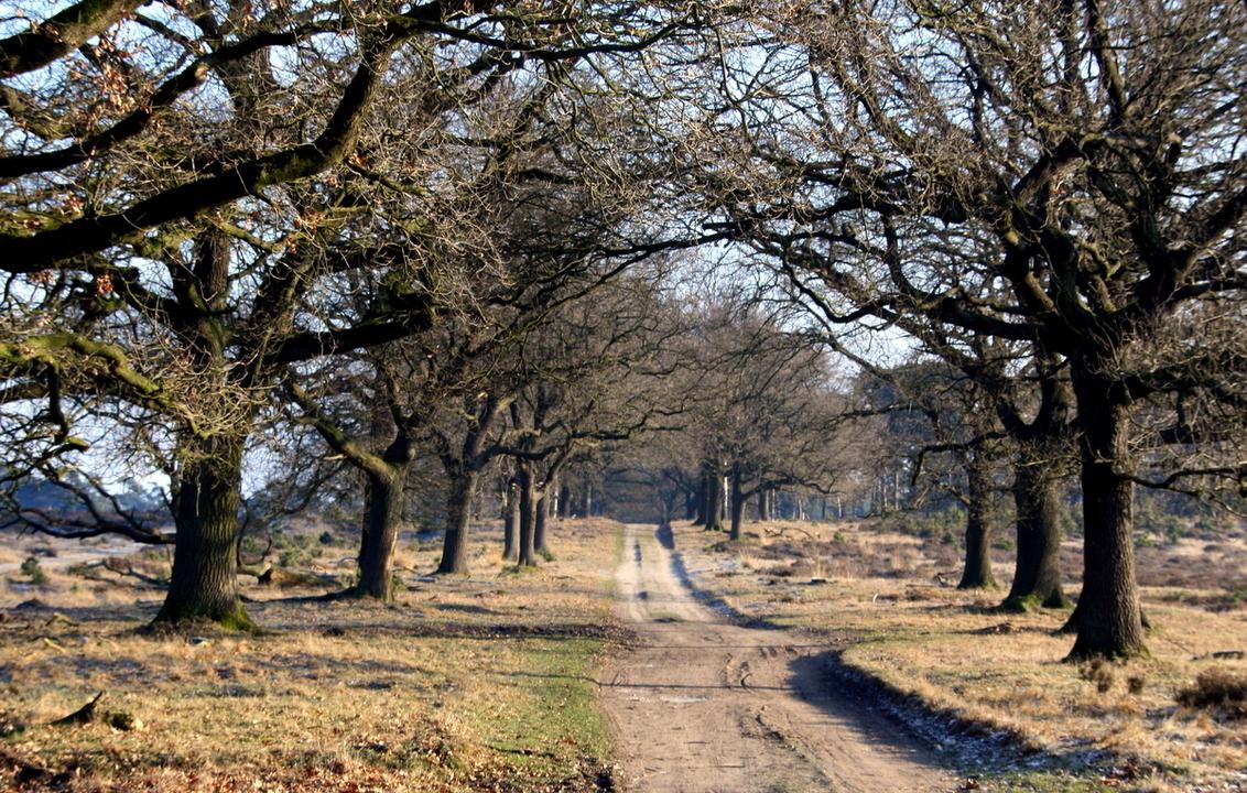 Deeler woud - Een prachtige eiken laan  grillig van vorm en lijn waar ik niet omheen kon op die mooie zonnige wintermorgen in het Deelerwoud. - foto door theoluising op 10-03-2009 - deze foto bevat: theo, grillig, woud, deeler, luising