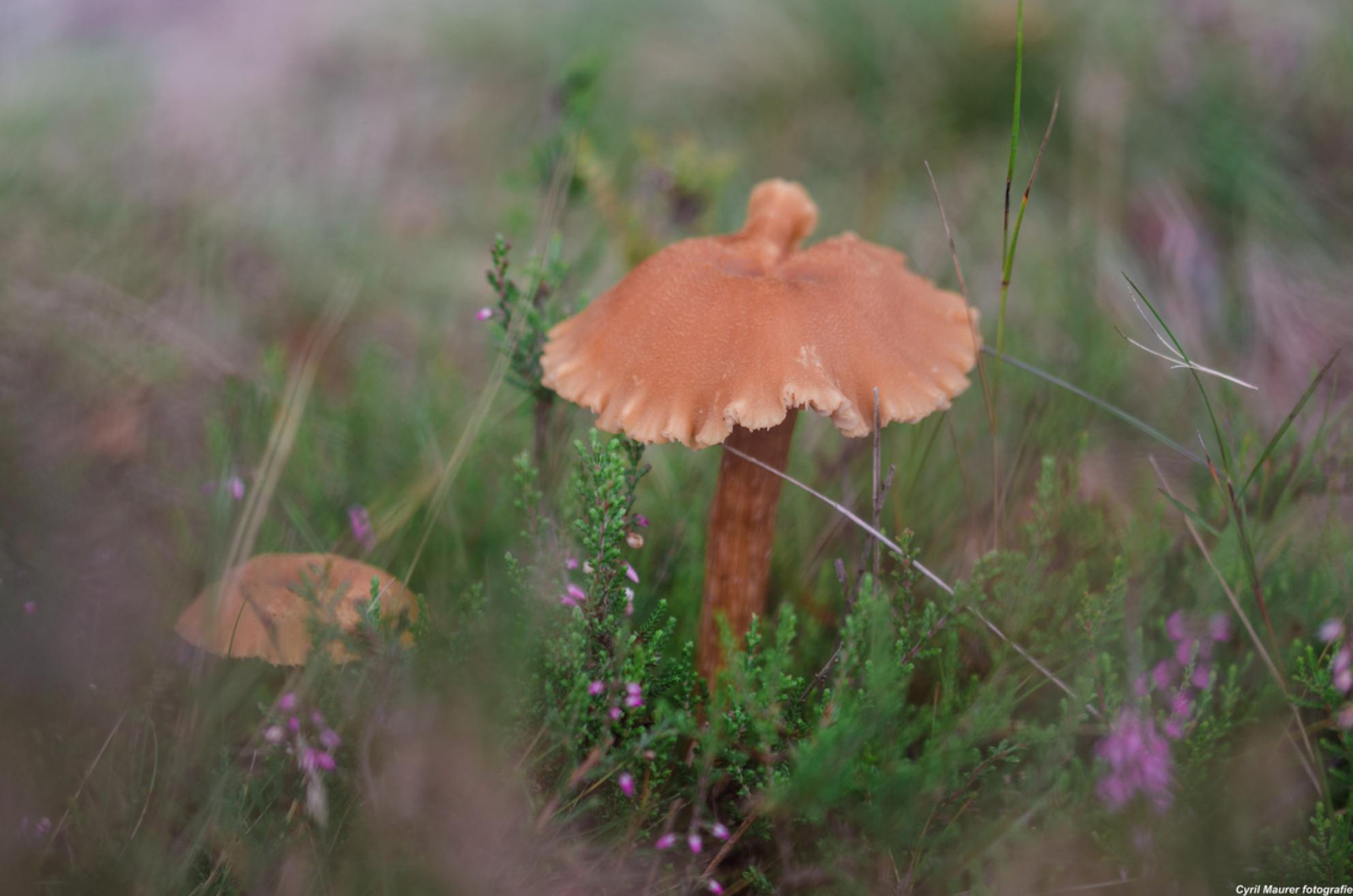Mijn eerste Paddenstoel - Ik reed zondag ochtend op me mouten bike langs deze mooi paddenstoel. Toe ik op was naar me werk . Ik vond hem zo mooi dus ik heb maandag me camera i - foto door sipmaurer op 09-09-2015 - deze foto bevat: groen, paars, macro, natuur, bruin, oranje, paddestoel, herfst, dof, schilderij effect, witte randjes, hilversumse heiden