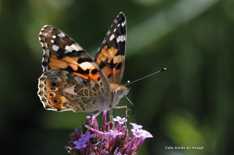 Kleine Vos met zon in de rug - B deze Kleine Vos zie je - doordat hij de zon in de rug heeft - heel mooi het licht door de vleugels en op de roltong. Standpunt zo gekozen dat de ac - foto door GJ2707 op 12-04-2021 - locatie: Schoolstraat 29b, 9285 NE Buitenpost, Nederland - deze foto bevat: vlinder, kleine vos, vlinderfotografie, macrofotografie, verbena, vlindertuin, natuurfotografie, bloem, fabriek, bestuiver, insect, vlinder, geleedpotigen, motten en vlinders, aglais, vanessa (vlinder), vanessa atalanta