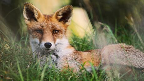 resting fox II