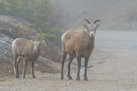 Dikhoornschaap in the mist