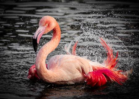 Flamingo - - - foto door VivianvandenEnde op 16-06-2015 - deze foto bevat: water, dierentuin, natuur, flamingo, dieren, safari, watervogel, wildlife, blijdorp