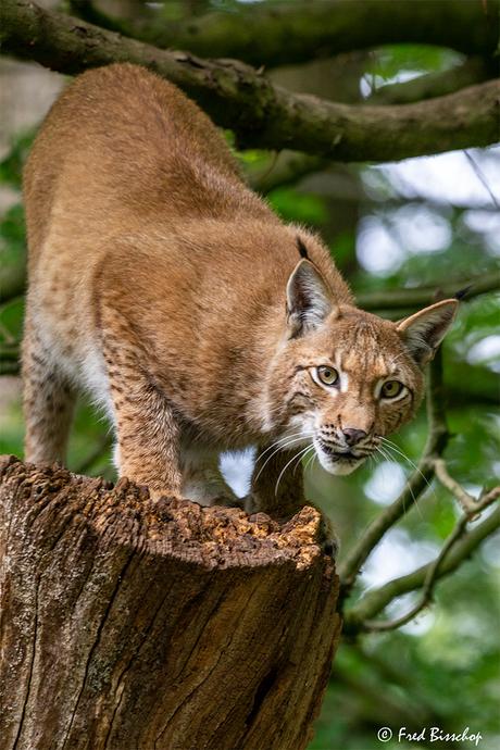 Lynx klimt uit de boom