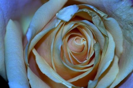 Roos - . - foto door Anneke1955 op 28-04-2021 - deze foto bevat: bloem, fabriek, fotograaf, wit, licht, plantkunde, bloemblaadje, hybride thee roos, roos, tuin rozen
