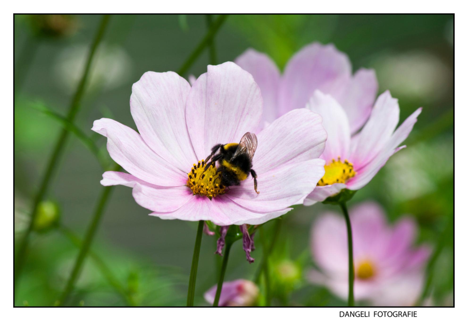 Honing zoeken - Even een closeup van een bijtje op een bloem. Eerste van zijn soort voor mij... kijken of deze goed is gelukt volgens anderen. - foto door vasco1973 op 27-07-2009 - deze foto bevat: bloem, bij, closeup, honing