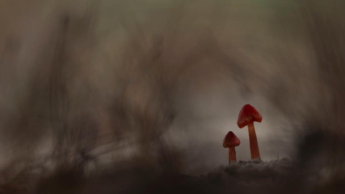 We zijn er bijna - Vind dit een van de mooiste paddenstoelen met hun rode puntmutsjes het zijn de zwartwerkende wasplaten. Deze waren zo'n twee cm groot. De soort komt  - foto door daan de vos op 26-10-2020 - deze foto bevat: macro, natuur, puntmutsjes, zwammen.paddestoelen, zwartwordende wasplaten