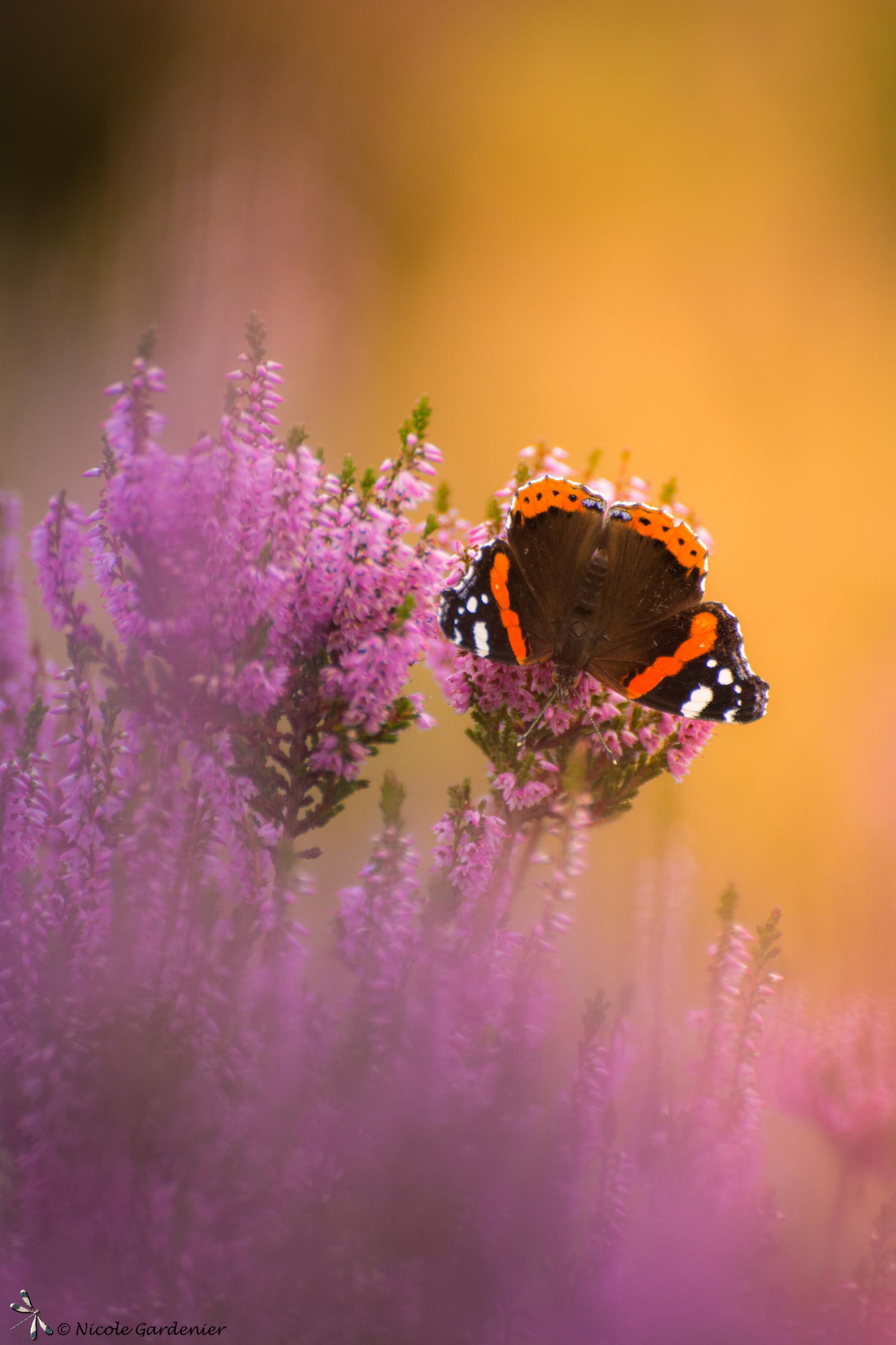Colour my world - - - foto door nicolegardenier17 op 15-09-2020 - deze foto bevat: vlinder, atalanta, heide, zomer