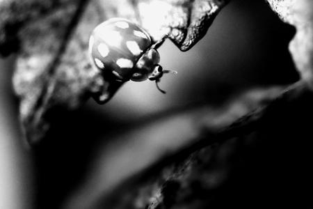 Black and White Ladybug - - - foto door elizabethfolkerts op 28-10-2020 - deze foto bevat: macro, natuur, zwartwit