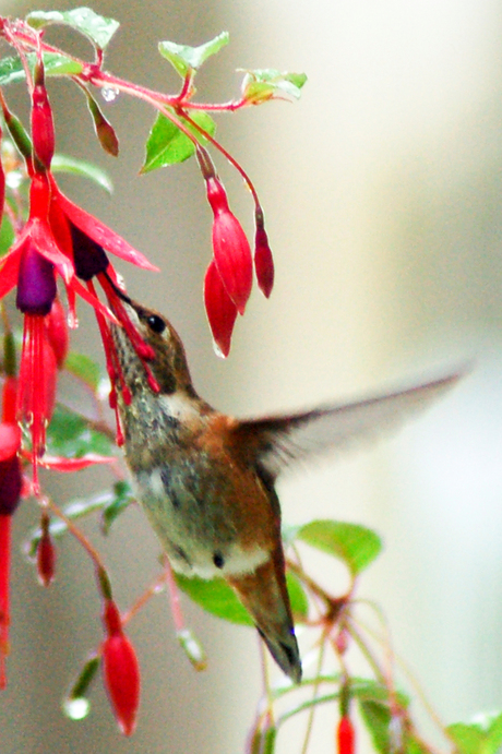 Kolibrie 2