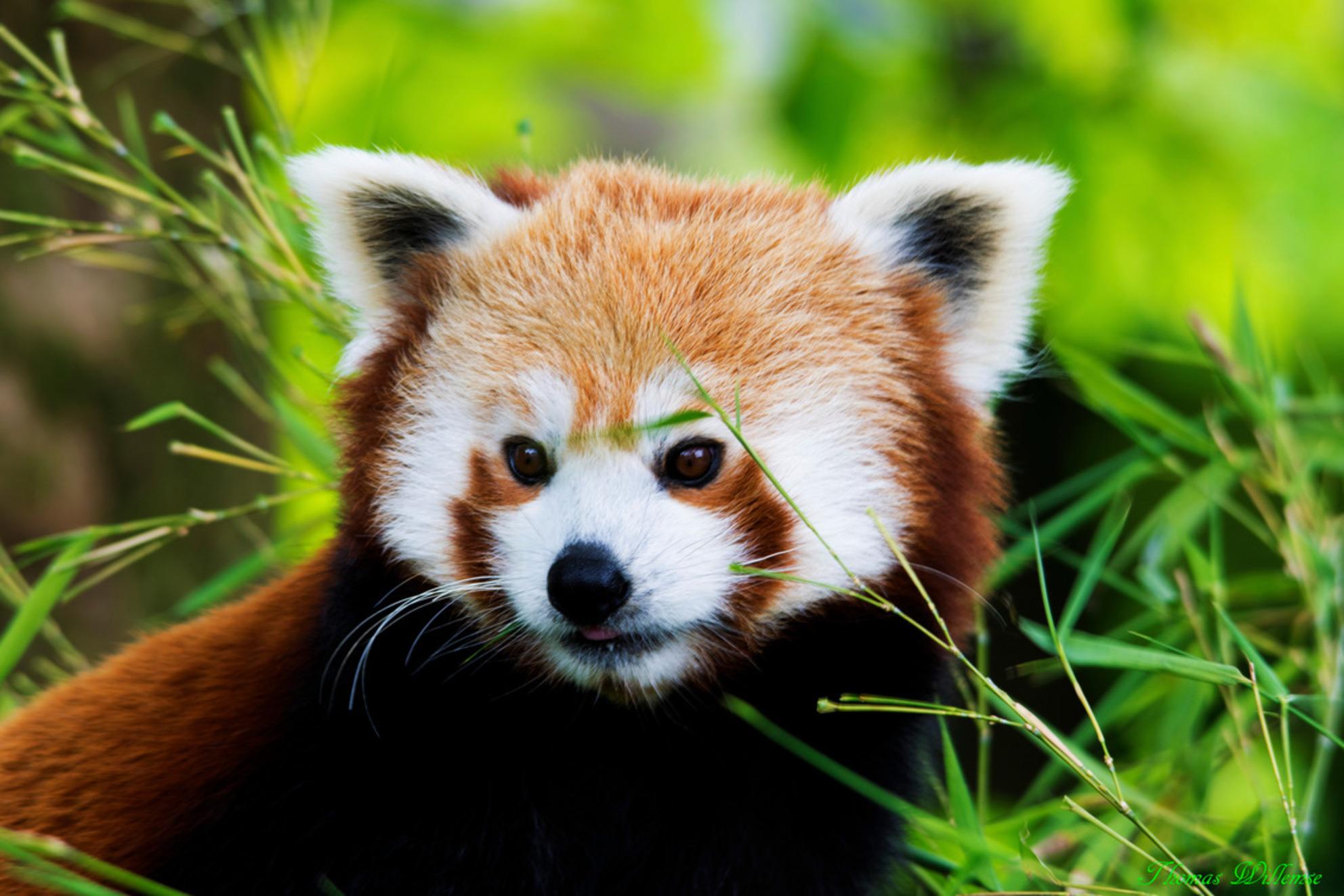 Rode panda - Rode panda gefotografeerd in diergaarde blijdorp. - foto door Thomas83_zoom op 27-06-2014 - deze foto bevat: dierentuin, blijdorp, Rode panda - Deze foto mag gebruikt worden in een Zoom.nl publicatie