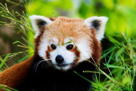 Rode panda - Rode panda gefotografeerd in diergaarde blijdorp. - foto door Thomas83_zoom op 27-06-2014 - deze foto bevat: dierentuin, blijdorp, Rode panda