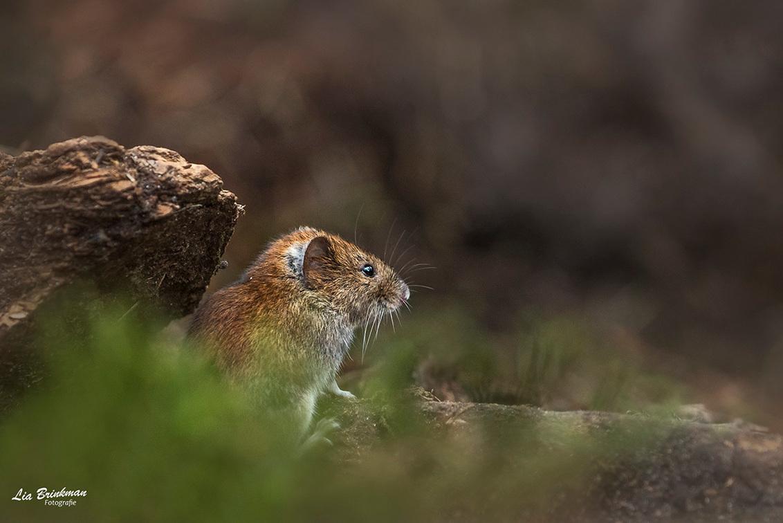 Muisje - Dit kleine muisje komt altijd een bezoekje brengen bij de vogelhut. Wat zijn ze klein en snel. Het lijkt erop dat ze niet stil kunnen zitten, altijd  - foto door hulsman op 24-04-2018 - deze foto bevat: natuur, klein, dieren, bos, muis, wildlife, vogelhut, hoge veluwe, hulsman