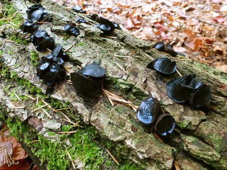 zwarte knoopzwam (volwassen) - De zwarte knoopzwam is te vinden op dode Loofhouttakken en stammen van berk, beuk en es. Als ze jong zijn, zijn het bruine knoopjes maar die heb ik n - foto door ekeren op 23-10-2012 - deze foto bevat: zwam, herfst, zwart, zwarte knoopzwam