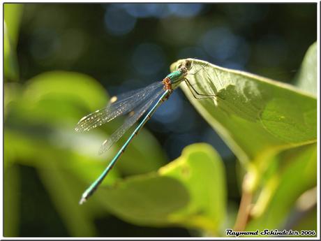 Libelle op Blad