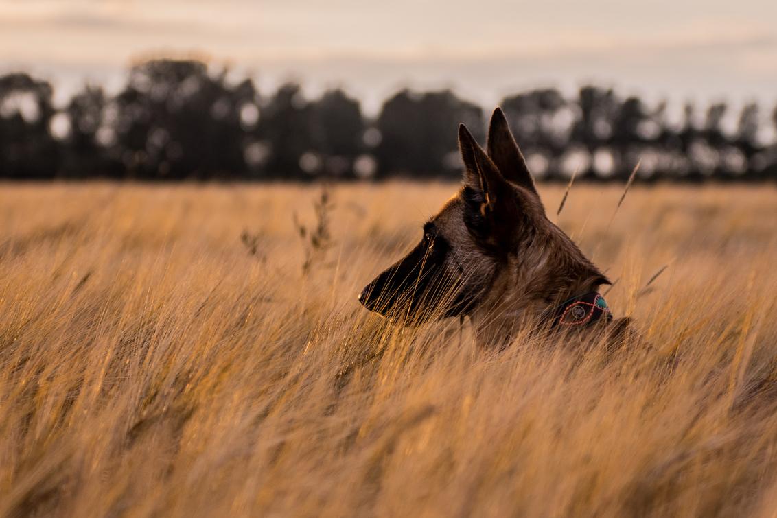 Golden Hour - - - foto door Demyvaneijk op 22-08-2020 - deze foto bevat: zon, hond, land, goud, goldenhour, Gouden uurtje, mechelse herder