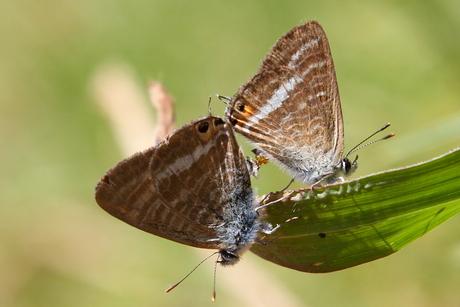 Parende vlinders.