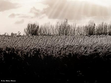 Spelen met tegenlicht - Een veld met rietpluimen, gefotografeerd in het tegenlicht.  In eerste instantie was het vrijwel zwart wit, maar heb er nog een paar filters aan to - foto door janwillemhilverts op 02-12-2009 - deze foto bevat: natuur, landschap, tegenlicht, riet, bewerking, zwart wit