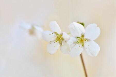 Spring Bloom - Bloeiende knoppen, tederen bloemen, frisgroene blaadjes . . . alles komt tot leven en bloei in de lente. - foto door thirzaniemantsverdriet op 13-04-2021 - deze foto bevat: bloem, fabriek, bloemblaadje, takje, bloesem, bloeiende plant, pedicel, natuurlijk landschap, wildflower, kersenbloesem