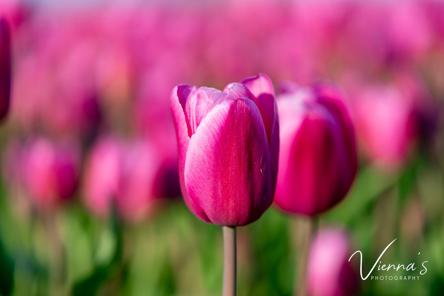 Tulpenveld - Tijdens een mooie zonsopkomst kwamen we een mooie tulpenveld tegen en moest ik deze foto maken. - foto door Vienna op 10-04-2021 - locatie: 3247 Dirksland, Nederland - deze foto bevat: tulpenveld, tulpen, macro, close-up, macro photography, bloemen, roze, pink, bloem, fabriek, bloemblaadje, purper, plantkunde, natuurlijk landschap, roze, kruidachtige plant, magenta, gras