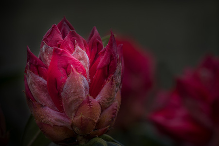 Ontluikend - Allen bedankt voor de fijne waarderingen op mijn vorige upload.   - foto door hvr2105 op 17-04-2021 - deze foto bevat: rododendron, arboretum belmonte, macro, statief, low-key, bloem, bloem, fabriek, bloemblaadje, terrestrische plant, bloeiende plant, rose familie, magenta, eenjarige plant, rose bestelling, pedicel