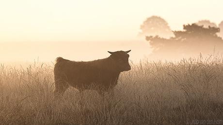 Highlander in Sunrise