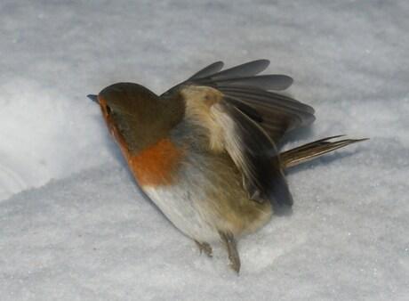 Roodborstje met Vleugeltjes open