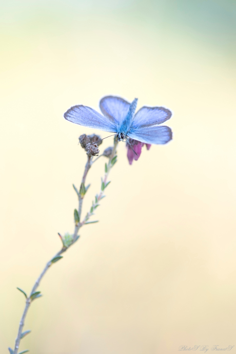 Blauwe schoonheid.