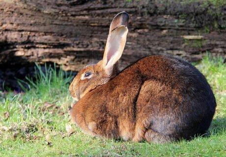 Bruin konijn