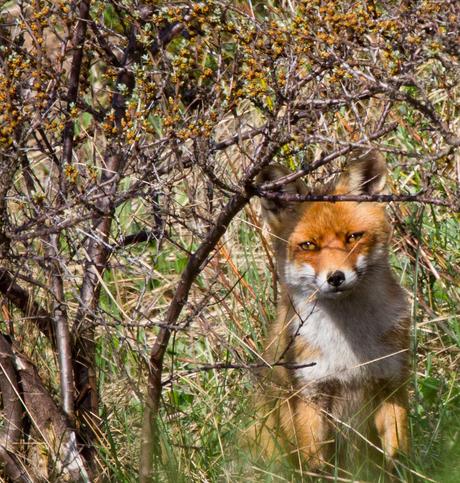een vos in de struiken