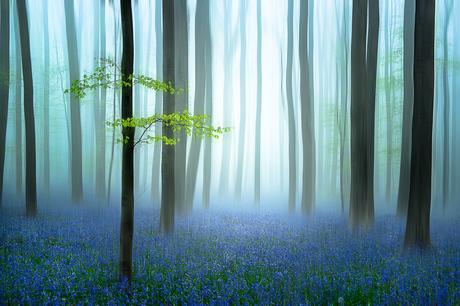 Het blauwe bos.