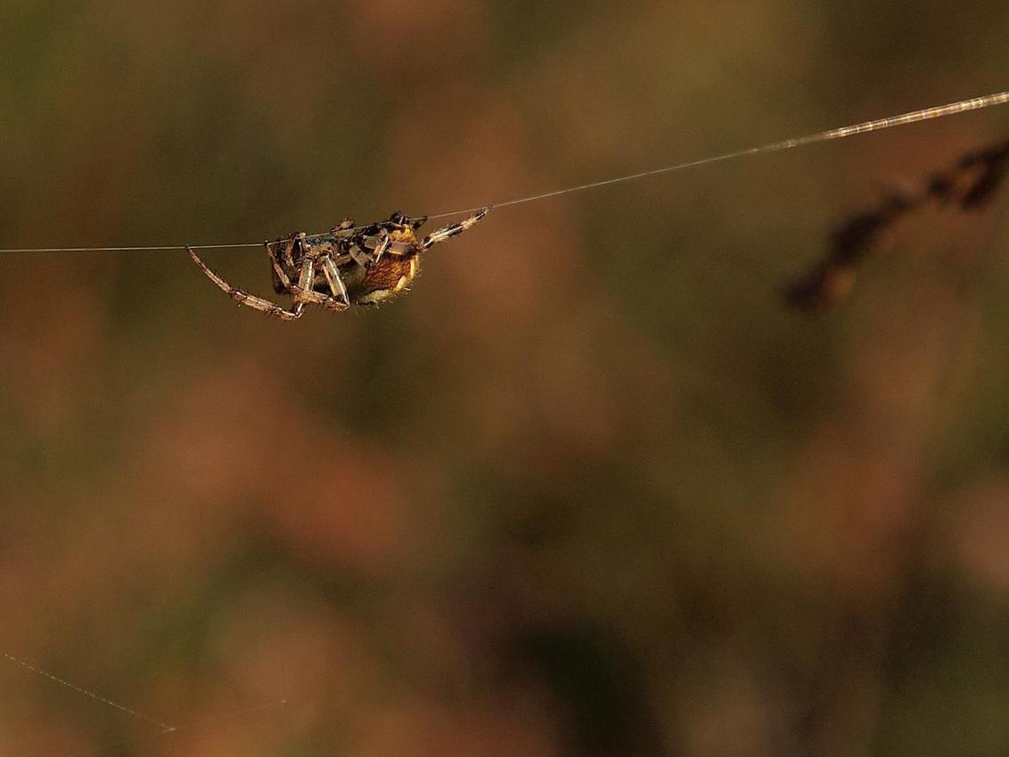 zomerspin - Spin in het warme Boetelerveld. - foto door Duckie_zoom op 08-09-2011 - deze foto bevat: macro, spin, boetelerveld, zoomdag heino
