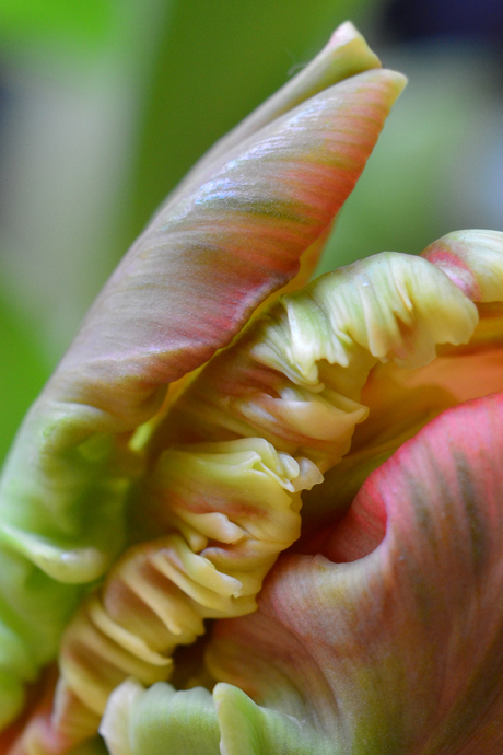Tulp abstract 2