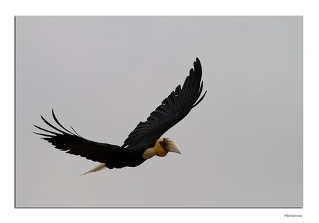 Neushoornvogel