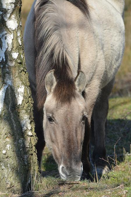 Konikpaard - - - foto door hayke op 07-03-2021 - deze foto bevat: konikpaars, hayke